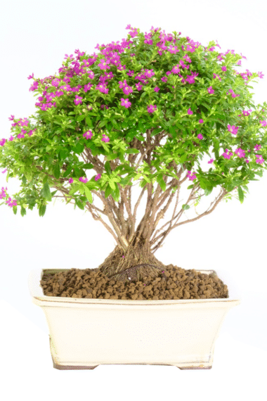 Purple blossom bonsai for beginners to be kept indoors