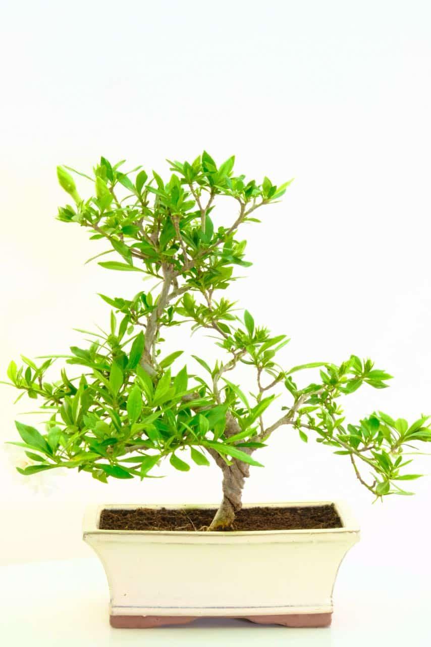 Exemplary Flowering Gardenia Bonsai Tree With Amazing Scent