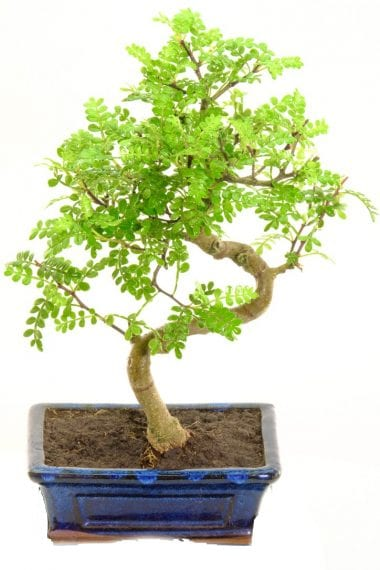 pepper bonsai 8 years s-shaped trunk