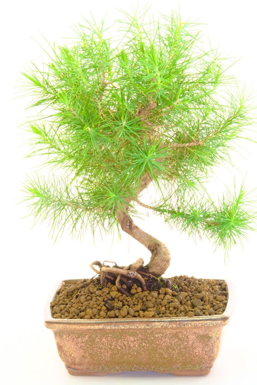 Beautiful Mediterranean Aleppo Pine Bonsai With Excellent Trunk Shape