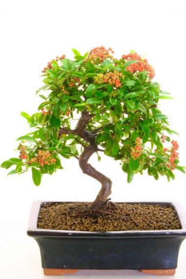Sensational Hardy Bonsai for the garden patio or decking