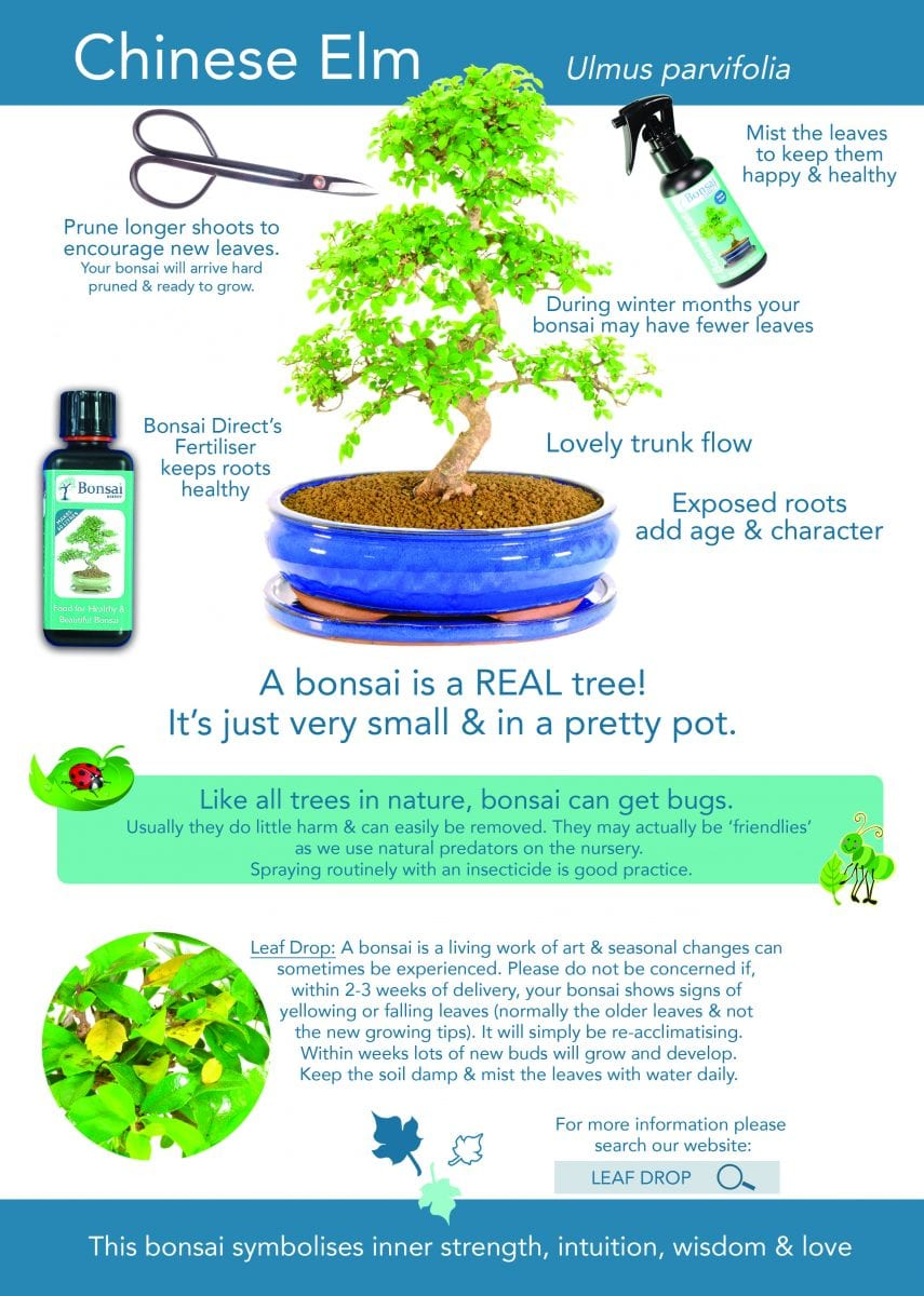 Chinese Elm Ulmus Parvifolia Indoor Bonsai Care Guide