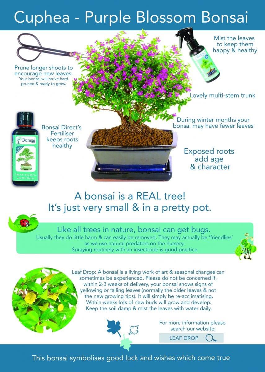Bonsai Tree Care Guide For Cuphea Purple Blossom Indoor Bonsai
