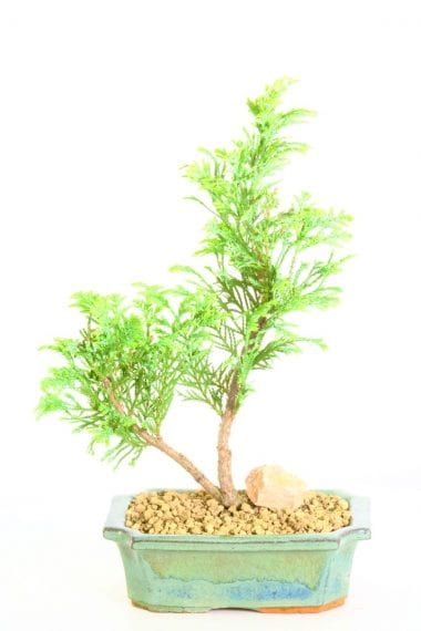 Wonderful Starter Bonsai