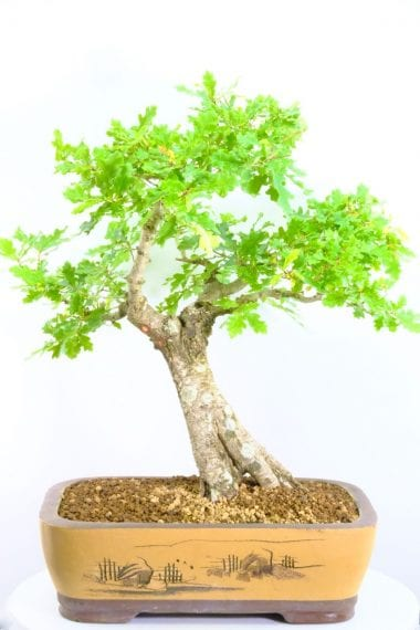 Outstanding English Oak Bonsai