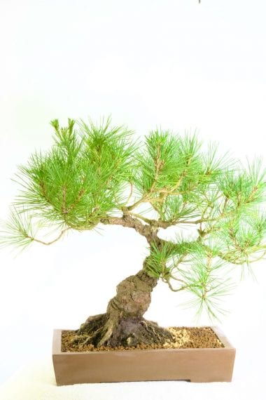 Specimen 35 year old Pinus thunbergii bonsai for sale