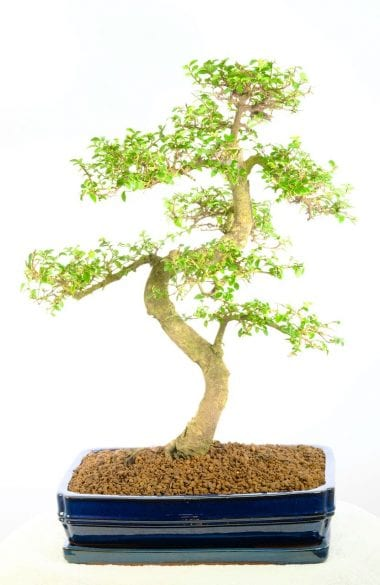 Incredible Chinese Elm bonsai for sale UK