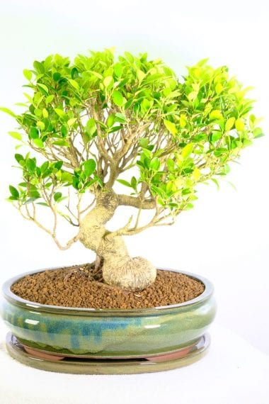 Incredible Indoor Ficus Bonsai for sale in the UK