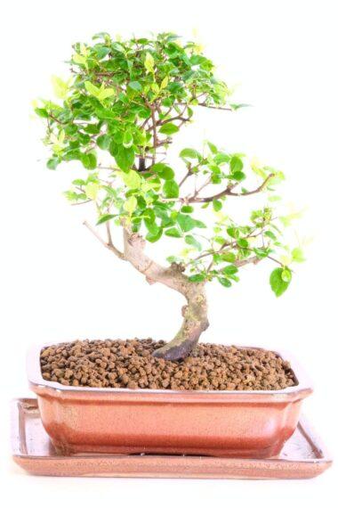 Sweet Plum Sageretia theezans premium indoor bonsai for sale