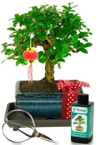Orchard style miniature bonsai for sale for Chinese New Year