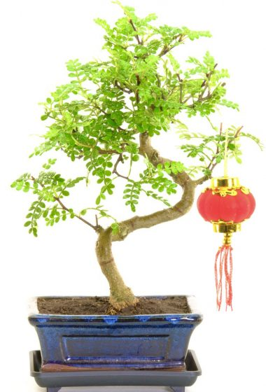 Chinese New Year bonsai gift with fragrant leaves & red lantern