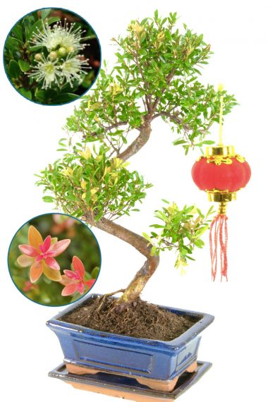 Chinese new year bonsai gift - flowering indoor Roseapple