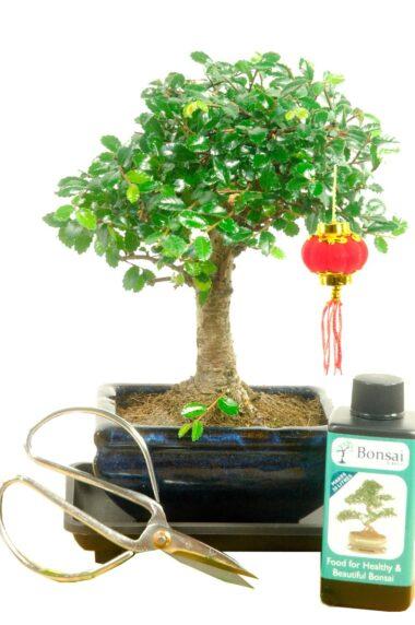 Beginners Baby bonsai kit for Chinese New Year