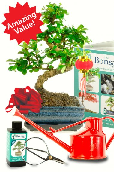 A spectacular beginners Bonsai gift for Chinese New Year