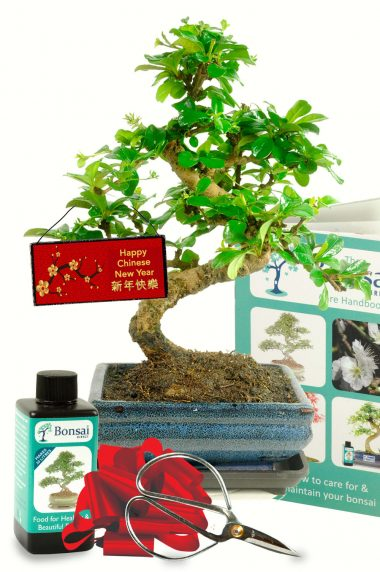 Beginners flowering Chinese New Year Tea Tree bonsai gift