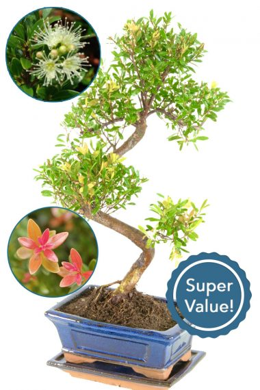Roseapple indor bonsai with beautiful styling for beginners