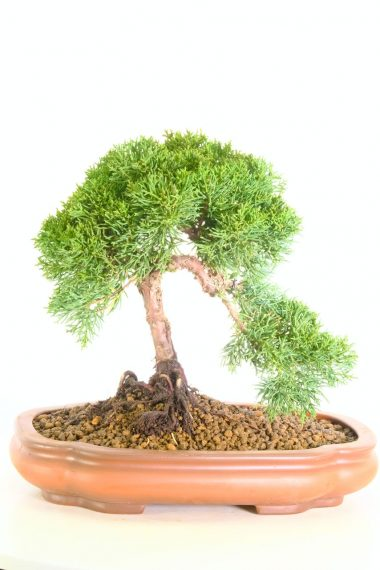 Incredible Chinese Juniper bonsai tree