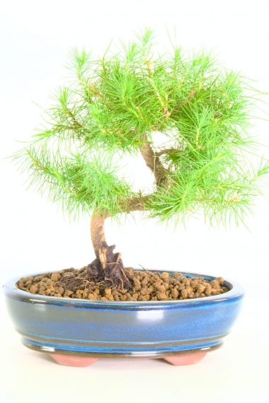Delightful Pine Bonsai tree