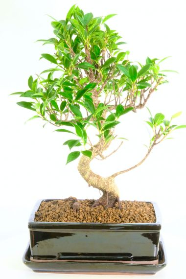 Premium Ficus retusa bonsai in sleek black pot for salei