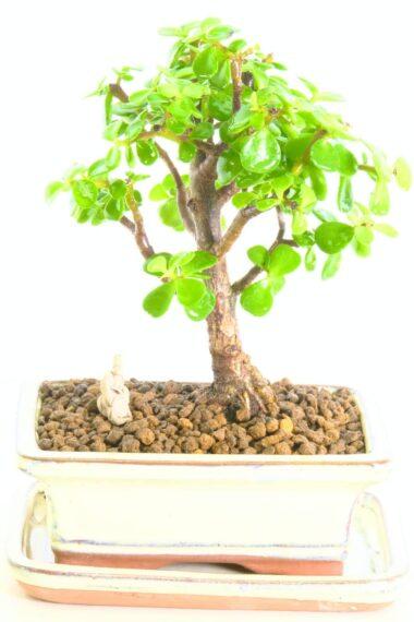 Shoin jade bonsai for sale