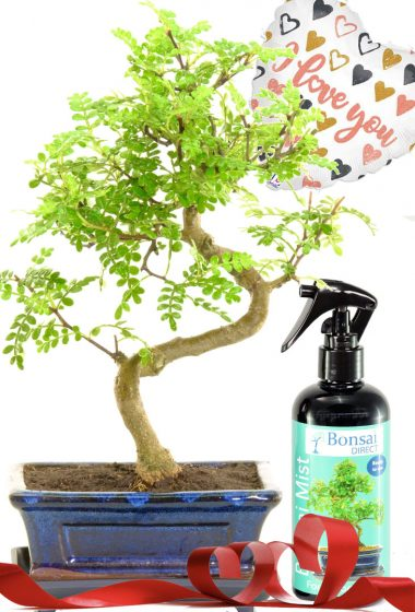 Fragrant pepper tree indoor bonsai with mist & rose gold heart balloon