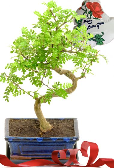 Ps I love you bonsai tree gift