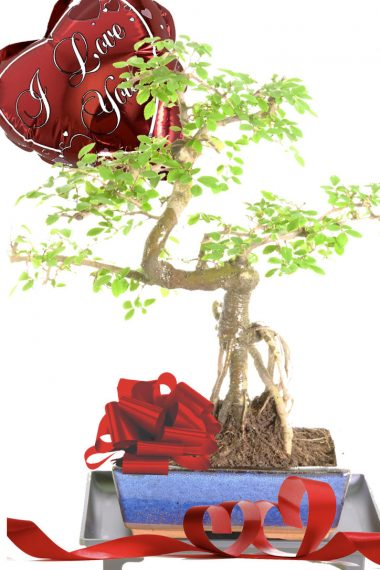 Character Chinese Elm Valentines day bonsai gift