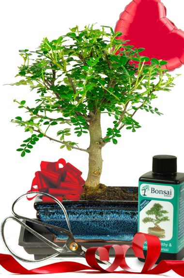 Fragrant aromatic pepper tree miniature bonsai kit for indoors for Valentine's day
