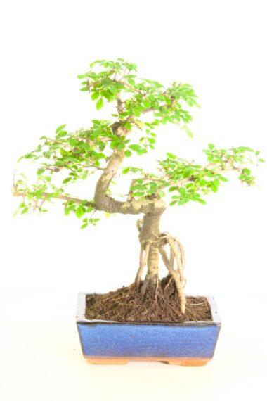 12 year twisty s-shaped zelcova parvifolia