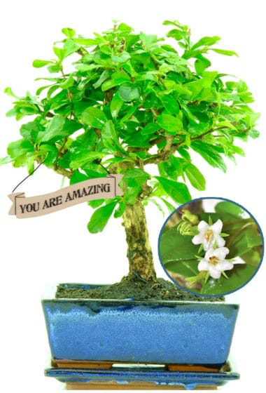You are amazing bonsai gift