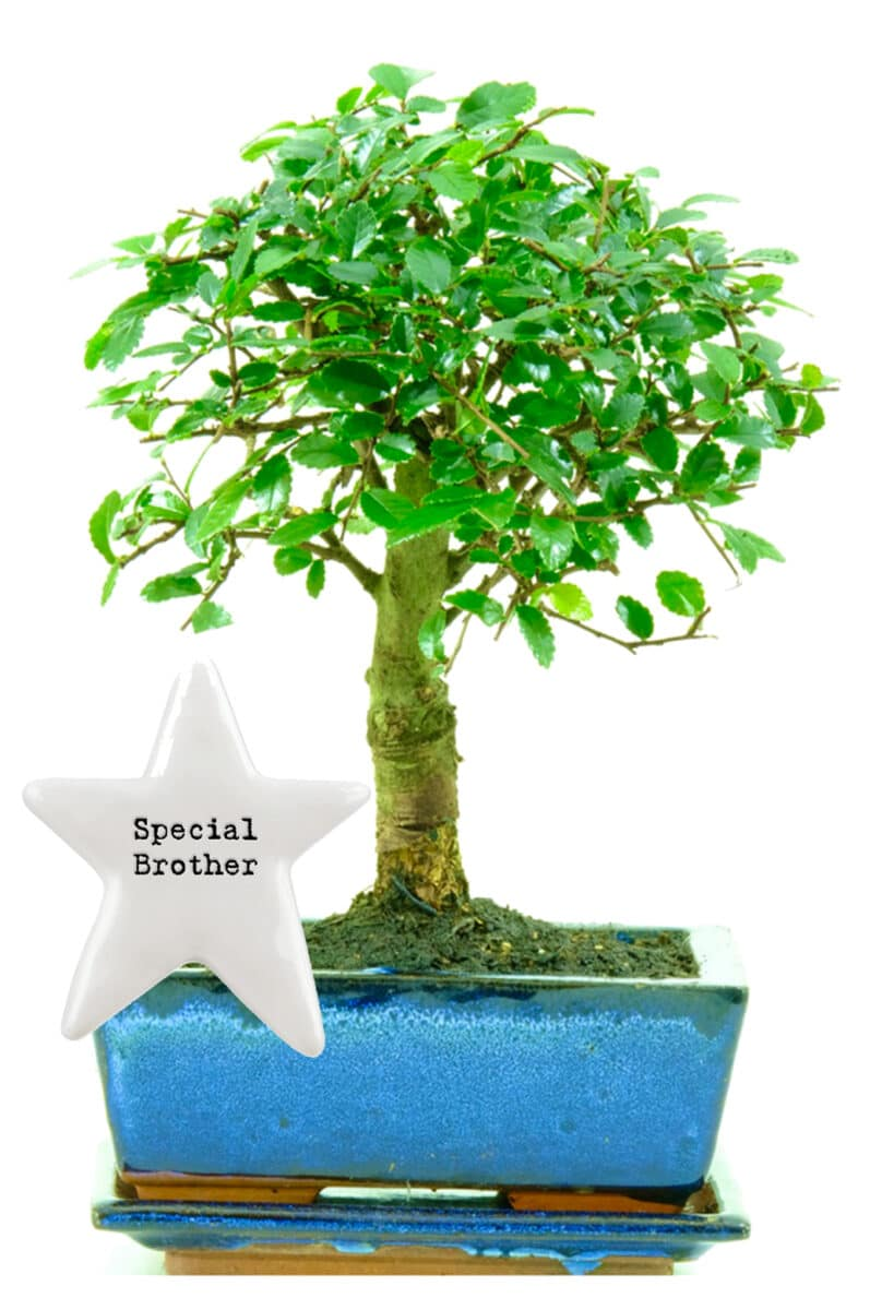 Special brother bonsai birthday gift for sale