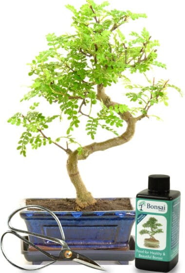 beginners indoor bonsai pepper it for sale