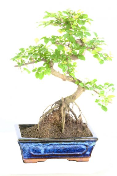Fruiting sweet plum indoor bonsai for sale with S-Shaped trunk