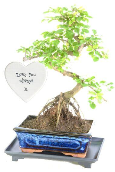 Sensational exposed root design fruiting sweet plum bonsai for sale