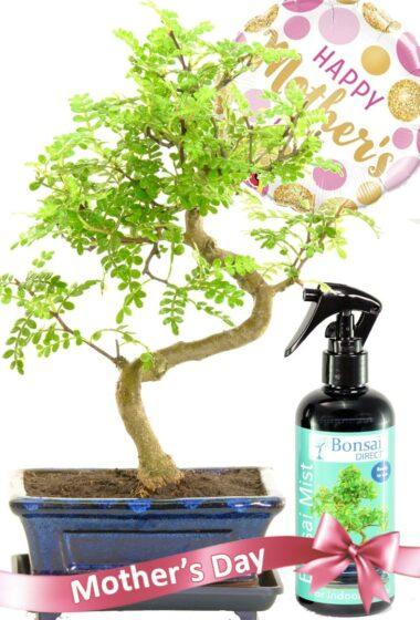 A very pretty fragrant Mother's day bonsai present