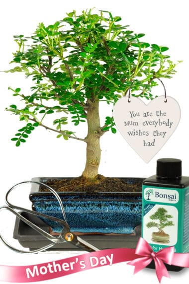 Very cute fragrant indoor bonsai mothers day gift for sale