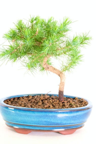 miniature pine bonsai for sale