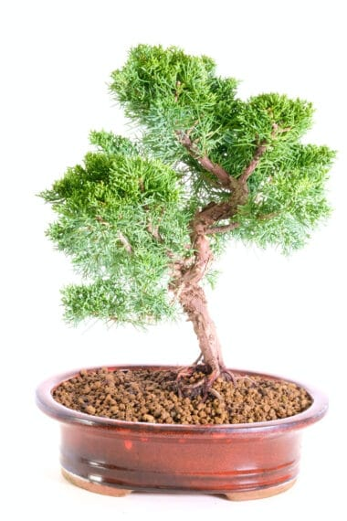 Mature Chinese Juniper for sale