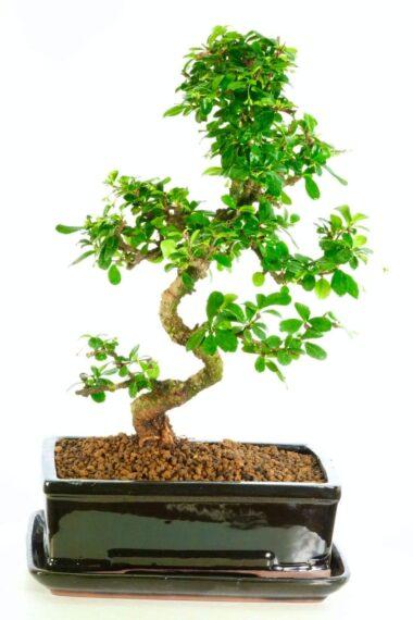 Specimen Carmona microphylla bonsai for indoor gardening