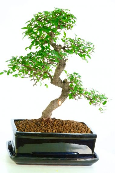 Excellence range Chinese Elm indoor bonsai
