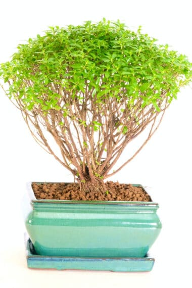 A very cute purple blossom bonsai for sale