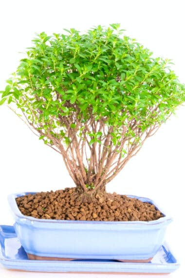 Stunning Indoor Flowering bonsai for sale UK