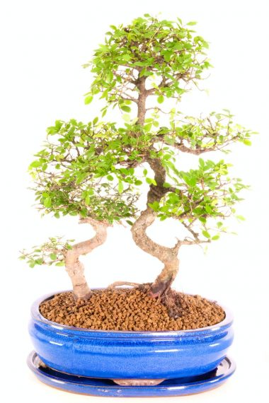 Jan mature character twin Bonsai for sale