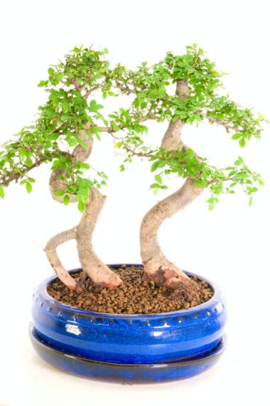 Character twin trunk Chinese on Bonsai for sale