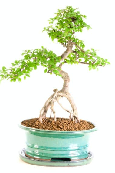 quirky character Chinese Elm - aerial root style