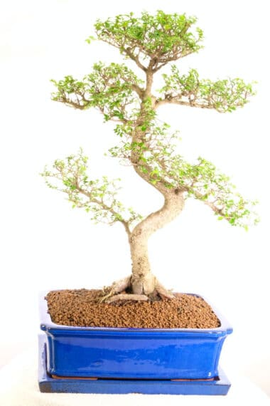 Huge awesome Chinese Elm indoor bonsai favourite for sale