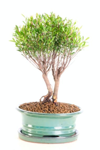 Stunning Evergreen Myrtle Bonsai For Sale with Brilliant Trunk Shape