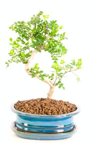 Elegant Pepper Tree for sale