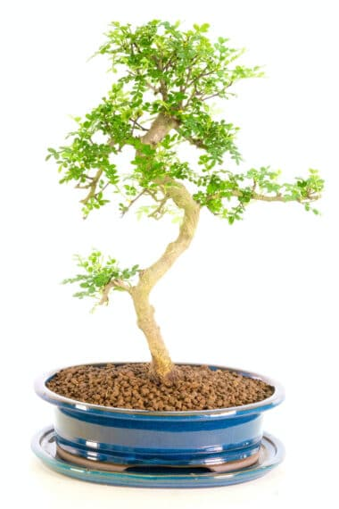 Highly refined twisty aromatic pepper bonsai for sale