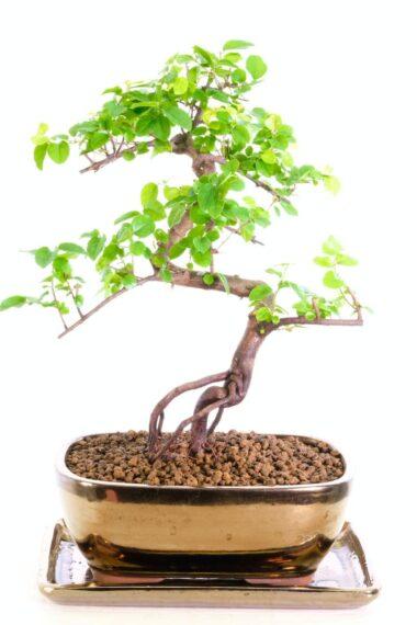 Very beautiful sweet plum bonsai tree